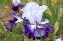 Cayeux Iris Plume Bleue