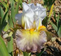 Cayeux Iris - Sur la Plage