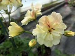 Fibrex Pelargonium Rushmoor Amazon