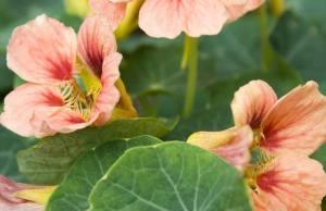 Nasturtium Ladybird Rose