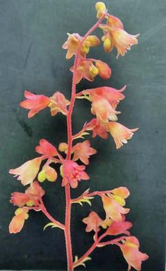 Plantagogo - Heuchera Sweet Caroline flower
