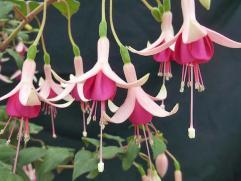 Roualeyn Fuchsias -Fuchsia Sarcoma UK. Picture; Ian Strawson