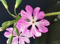 Staddon Farm Nurseries - Primula sieboldii Keepsake