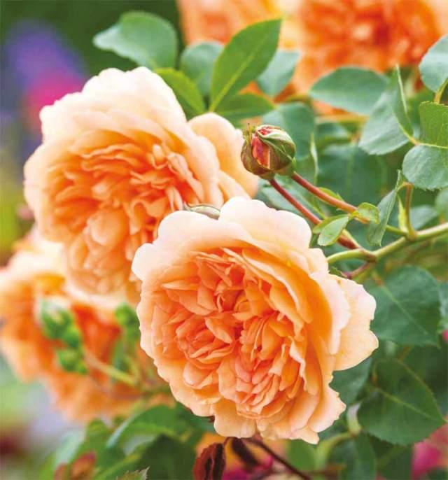 Rose Dame Judi Dench
