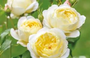 Rose Vanessa Bell