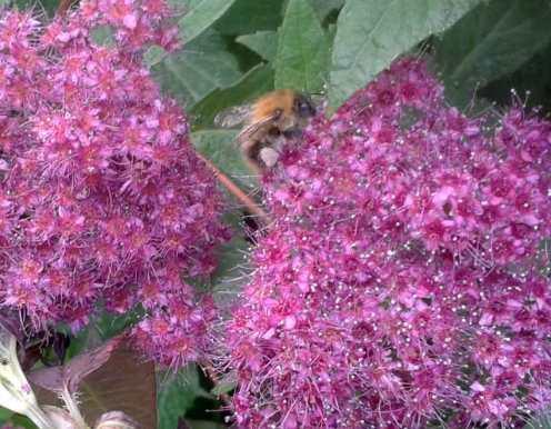 Bee Spiraea