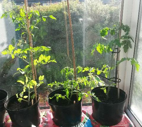 Growing tomatoes in grow bags | MandyCanUDigIt