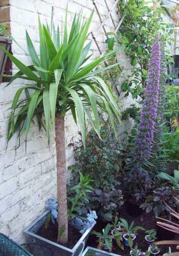 Yucca Echium