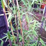 Bamboo for smaller gardens: clumping v running
