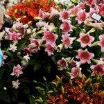 Lilies Hampton