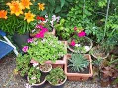 Lily geranium echium