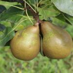 Mini pear Joy of Kent