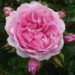 Hampton Court: new roses & top bloom tips