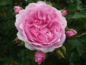 Rose Oxana