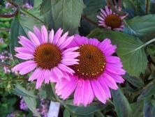 Echinacea SunSeekers Pink
