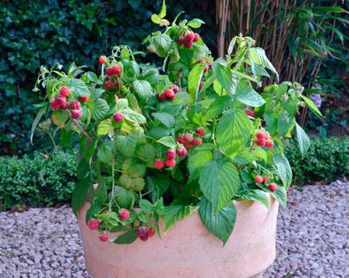 Raspberry Yummy