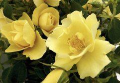 Rose Gardener's Gold