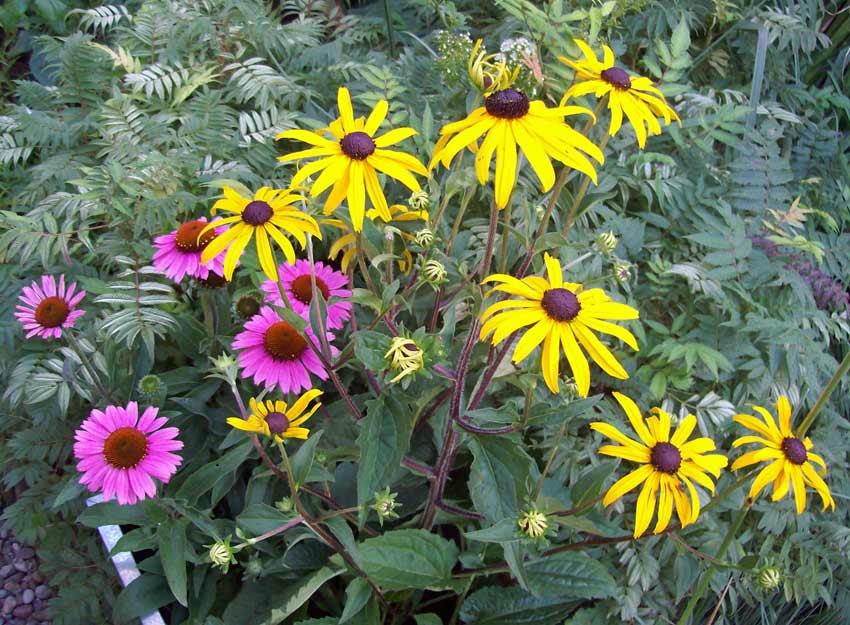 Late summer flowering perennials colour blast rudbeckia goldsturm and echinacea sunseekers pink for late summer colour mightylinksfo