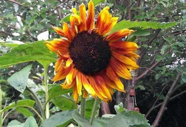 Sunflower Pastiche