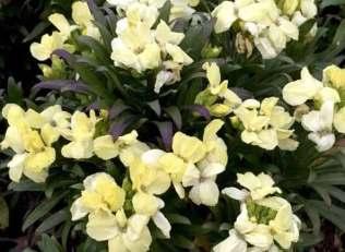 Wallflower White Dame