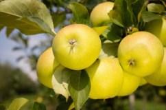Apple Bionda Patrizia