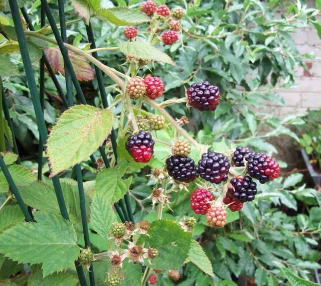 Blackberry Loch Maree