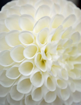 Beamish Museum leek show dahlia close-up. Picture; Sue Welford