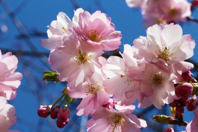 At risk... Prunus species