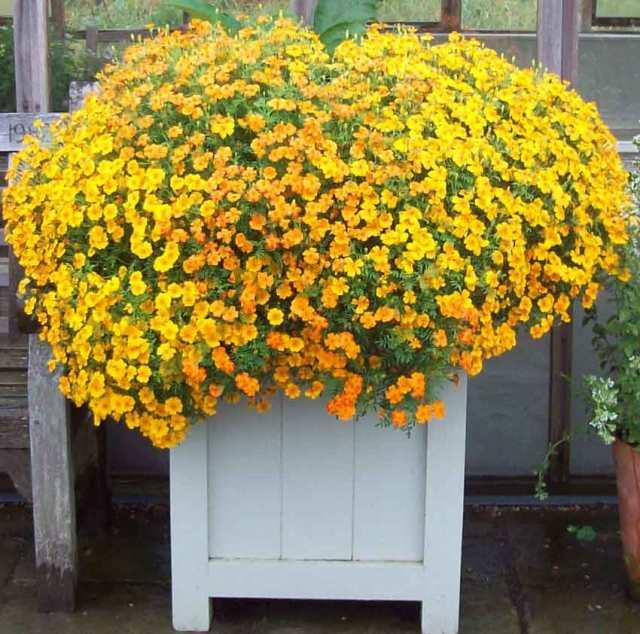 Marigolds en masse at RHS Harlow Carr