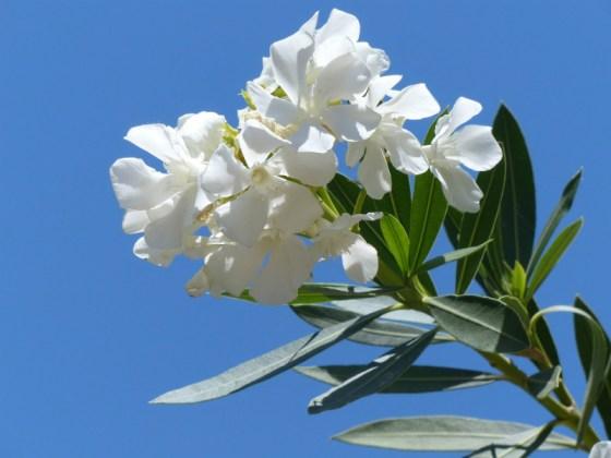At risk... Oleander