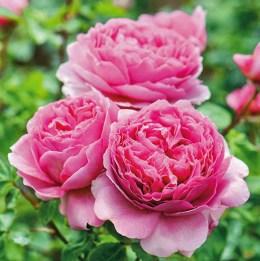 Rose Princess Alexandra of Kent. Picture; David Austin Roses
