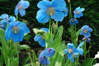 Meconopsis Lingholm. Picture; Plant World Seeds