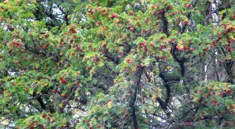 Rowan berries, Saltwell Park