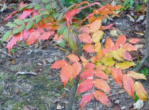 Mahonia leaves