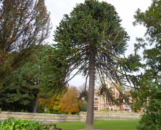 Kid's favourite... the monkey puzzle tree
