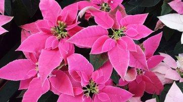 Pink hybrid Poinsettia