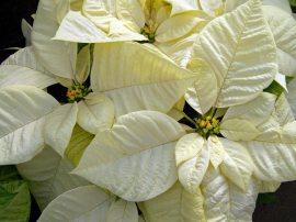 White hybrid Poinsettia