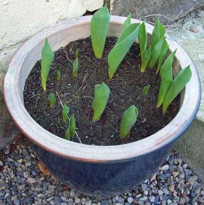 Tulip Purple Prince at leaf stage