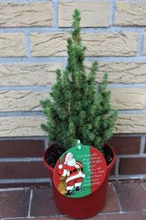 Alberta spruce Conica Perfecta. Picture; Lubera