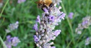Lovely bee on lavender