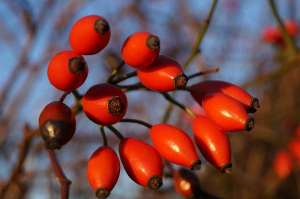 Bursting with vitamin C - rosehips