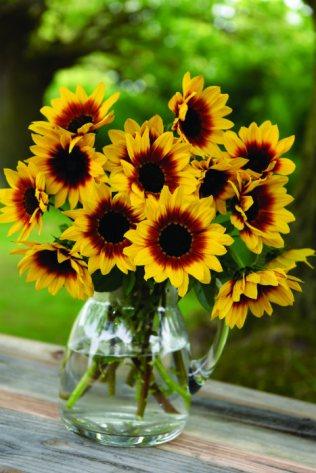 Sunflower Sunbelievable. Picture; Thompson & Morgan