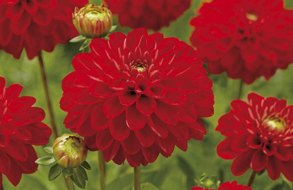 Dahlia Jewel Red. Picture; de Jager