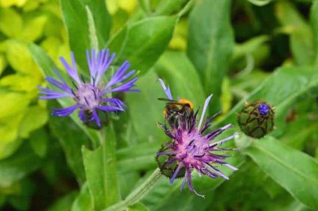 Perennial cornflower with attendant wildlife