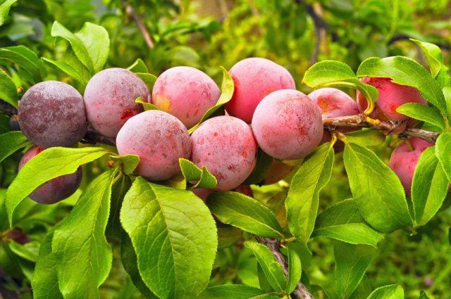 Fruit hybrids. Picture; Perfect Plants