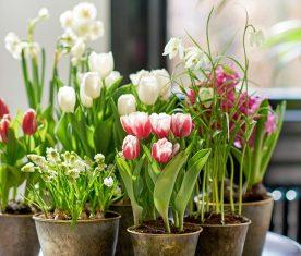 Tulips, Narcissi and fritillaries en masse. Picture; thejoyofplants.co.uk