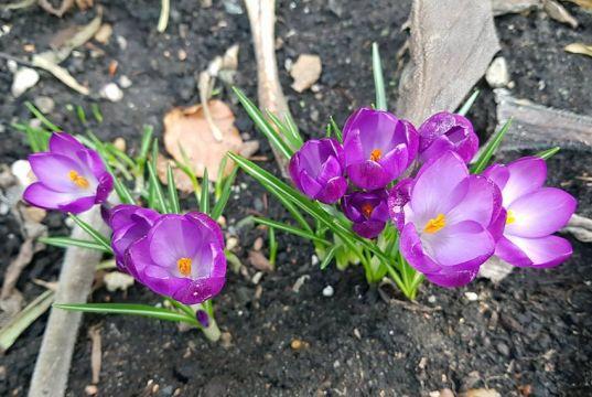Purpleness of crocus in the dreich days