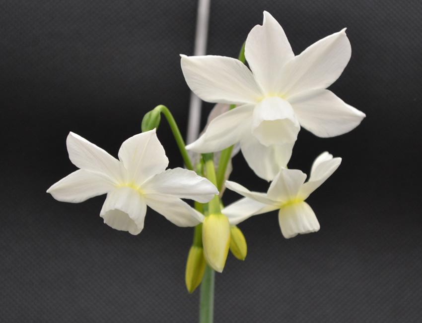 Show daffodils