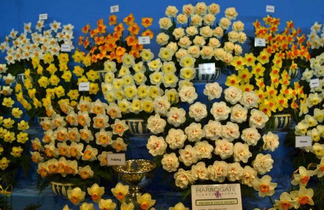 Daffodils en masse
