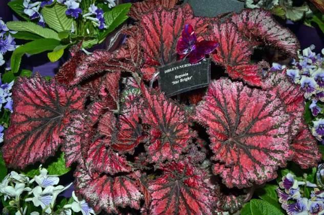 Dibley's Begonia rex Star Bright